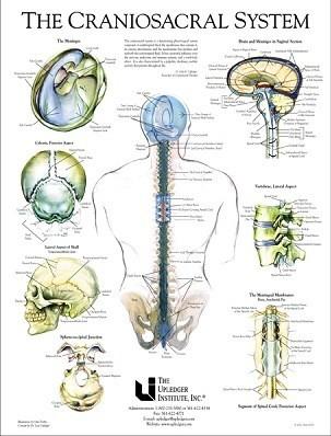 Das Craniosacrale System_Upledger Institut